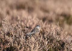 Photo of Dartford Warbler 1