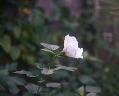 DSC04033 (Old Lenses New Camera) Tags: sony a7r schneider schneiderkreuznach xenon 5cm 50mm f2 plants garden flowers hibiscus