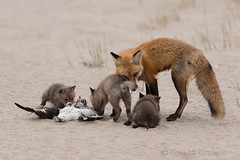 fox's dinner (Chris He - 2013) Tags: