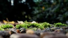 stone.moss.stone (C.Kalk DigitaLPhotoS) Tags: moss moos stein stone makro macro closeup plant pflanze flora natur nature green grn outdoor
