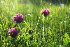 The clover quartet (DameBoudicca) Tags: sweden sverige schweden suecia sude svezia  clover klver klee trbol trfle trifoglio  redclover rdklver trbolrojo rotklee wiesenklee trfledesprs trfleviolet trifogliodeiprati green grn grn vert verde  flower blossom blomma blte flor fiore fleur  pink rosa rose