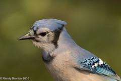 Blue on Green (rdroniuk) Tags: birds smallbirds passerines jay bluejay cyanocittacristata oiseaux passereaux geaibleu