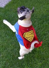 Super Pug! (DaPuglet) Tags: pug pugs dog dogs puppy puppies animal animals pet pets costume halloween superman cute funny