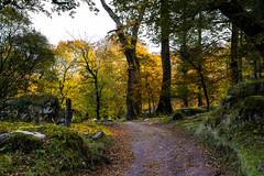Woodland track_NK2_3228 (Jean Fry) Tags: burrator dartmoor dartmoornationalpark devon englanduk narratorfarm narratorplantation nationalparks tracks trees uk westcountry woodland woods autumn autumncolours