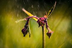 Im Regen (Sascha Wolf) Tags: bachnelkenwurz tamron 90mm macro blume pflanze wiese regen sommer mai