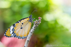 Butterfly (nattapan.suwansukho) Tags: animal background butterfly change delicate elegant fauna flora insect life metamorphosis natural nature transformation winged