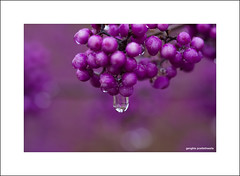 The raindrop (Descended from Ding the Devil) Tags: canon40d canonefs60mmmacro macro beautyberry beyondbokeh bokeh callicarpus closeup depthoffield garden photoborder primelens raindrops selectivefocus berry purple plant