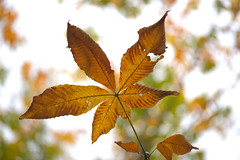 Japanese horse-chestnut (shizen.shigen) Tags: autumnfoliage  japanesehorsechestnut marronnier aesculusturbinata