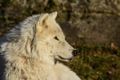 Arctic Wolf, Loup Arctique, Canis Lupus Arctos, Lobo Artico, Lobo Polar, Lobo Blanco, Arctische Wolf (Guy Lacroix) Tags: arcticwolf mammal predator prédateur louparctique canislupusarctos mammifère loup animal arcticulv guylacroixflickr wolf nekra bighana hurar yitiaolang vuk vlk ulv hunt susi wulf lupo ookami vilks wilk lup bolk wolk kurt blaidd dib tamronsp150600mm nikond7100