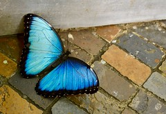 Common Morpho (Little Hand Images) Tags: commonmorpho butterfly bluebutterfly flutterby naturalhistorymuseum smithsonian washingtondc humid hot fragile nature