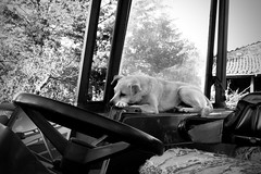 Commander-in-chief (-Aldievel-) Tags: animal dog italy animals leica italia countryside monochrome fields campagna molise sud tractor cane south agriculture campi trattore agricoltura beasts blackandwhite biancoenero