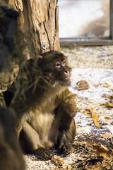 The alpha male of the new macaque group (Korkeasaaren elintarha) Tags: korkeasaarenelintarha elintarha korkeasaari hgholmensdjurgrd djurgrd helsinkizoo hgholmen zoo animals zooanimals berberiapina barbarymacaque macacasylvanus