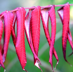 Hanging Red (vinnie saxon) Tags: plant nature red fall autumn leaves bokeh macro closeup nikoniste nikon d600 green detail