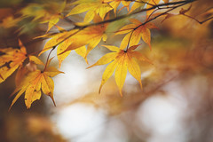 Nothing gold can stay (Tammy Schild) Tags: poetry robertfrost leaves branch yellow orange gold autumn fall tree japanesemaple nature november season foliage