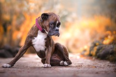 after a 2 hours walk she didn't want to go home... :D (Tams Szarka) Tags: dog pet animal puppy outdoor nature strawberry nikon boxerdog boxer