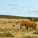 African Bush Elephant Standing in a large field.