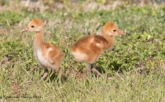 Baby Sandhill Cranes or Colts (Explored Nov 29 2016) (rosemaryharrisnaturephotography) Tags: sandhillcranecolts colts sandhillcranes sandhill florida yard grass nature wildlife rosemaryharris bird green greengrass canon cute babies baby babybird babybirds ngc npc coth specanimal animal sunrays5 coth5