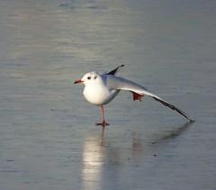 It's cold outside (Puerto De Liverpool.) Tags: chroicocephalusridibundus blackheadedgull britishbirds birds frozenlake ice crosbymarina nature merseyside uk