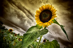 The Sunflower (Frank C. Grace (Trig Photography)) Tags: plotagraph plotagraphpro hdr highdynamicrange photography nikon d810 berkley massachusetts newengland storm clouds stormy heart art animated movingclouds singlephoto cinemagraph frankcgrace trigphotography