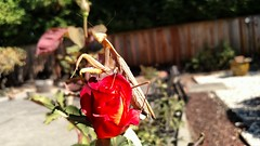 Rose perch (tend2it) Tags: area nature praying mantis plant bay red rose california dof backyard