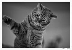 let me hit you (Alja Ani Tuna) Tags: 168 168365 365 cat kitty homecat pussycat pussy gingercat ginger animal animalportrait photo365 project365 portrait portraitunlimited 35mm 365challenge 365project monocrome monochrome nikond800 nikkor nikkor85mm nice nature 85mmf18 f18 bw blackandwhite black blackwhite beautiful white