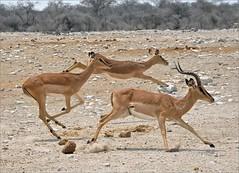 . (me*voil) Tags: namibia etosha etoshanationalpark impala action