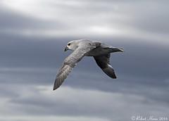 Fulmar (Robert Horne Wildlife Photography) Tags: fulmar fulmarusglacialis procellariidae petrel seabird svalbard arctic arcticcircle flight flying birdinflight ice frozen arcticsea
