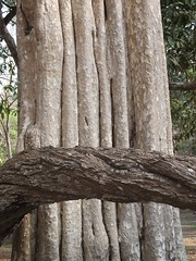 ANGKOR TREES (patrick555666751) Tags: angkor trees tree arbres arbre arboles asie du sud est south east asia cambodge cambodia kampuchea angkortrees cambodja camboja cambogia kambodscha camboya flickr heart group