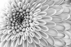 pretty little flower (rich lewis) Tags: macro macrophotography blackandwhite mono monochrome flower nature richlewis