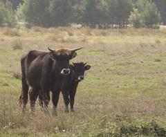 Mutter mit Kind (Heckrinder) - Mother with child (Heck cattle) (irishvillage) Tags: cuxhaven heckcattle heckrinder berenscherheide cuxhavenerheide