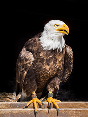 Eagle II (nazim1505) Tags: life bear wild animal animals zoo tiere feeding wildlife natur adler olympus tele mm wald 75300 zuiko br wildpark falke geier tripsdrill weisskopfseeadler ftterung seeadler weiskopf weiskopfseeadler