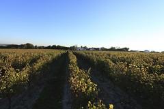 Vendanges 2015 au Vignoble des Hauts de Talmont 18