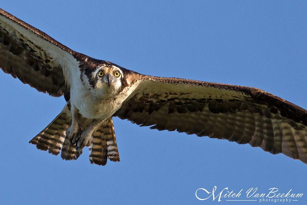 Just Pass'n' Through - Osprey In Flight