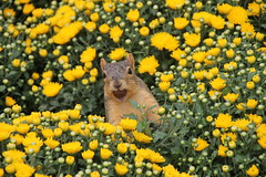 99/365/2655 (September 18, 2015) - Squirrels in the Hardy Mums at the Ross School of Business at the University of Michigan on September 18th, 2015 (cseeman) Tags: squirrels annarbor michigan animal campus universityofmichigan umsquirrels09182015 summer eating peanut mums flowers maize hardymums squirrelsandflowers plants squirrelmums09182015 rossschoolofbusiness michiganross michiganrosssquirrels 2015project365coreys yeareightproject365coreys project365 p365cs092015 septemberumsquirrel gobluesquirrels umsquirrel foxsquirrels easternfoxsquirrels michiganfoxsquirrels universityofmichiganfoxsquirrels