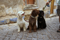 DSC03055 (fotodomagency) Tags: собаки собака черная белая три португалия поводок коричневая