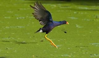 Purple Gallinule (Porphyrio martinica) PUGA  - adult - An Aerial Race...Who will Win?