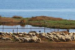 pascoli e stagni (ANNA ALESI) Tags: sardegna italy italia sangiovanni pecore oristano stagno zoneumide marcedd mediocampidano santantoniodisantadi