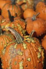 Pumpkin Festival (Read2me) Tags: she autumn orange texture many bumpy pumkins pree cye gamewinner thechallengefactory challengeclubwinner
