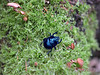 150927 fmscbN 151006 © Théthi (thethi: pls read the 1st comment :-)) Tags: nature forêt mousse insecte bousier scarabée champignon armillaire namur wallonie belgique belgium septembre géotrupedufumier setnamurcity setvegetaux bestof2015 faves38 setseptembre setwings