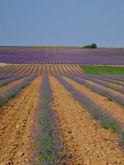 Préparer demain ** (Titole) Tags: lavandes lavender fields culture titole nicolefaton lines ground terre soil purple friendlychallenges thechallengefactory