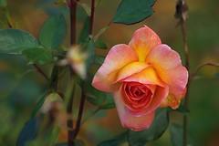 Rose orangée (mamietherese1) Tags: ngc macroelsalvador excellentsflowers awesomeblossoms greatshotss contactgroups sublimerose mygardenschool esenciadelanaturaleza universeofphotography rosesforeveryone