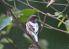 IMG_9147-1 Leucistic House Sparrow (John Pohl2011) Tags: bird canon john 100400mm pohl perching t4i 100400mmlens canont4i