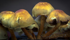 Pretty deadly (rob of rochdale) Tags: nature fungi fungus toadstools