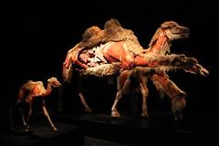 Science World - October 15, 2015 (rieserrano) Tags: camel bodyworlds plastination