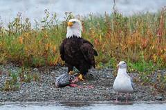 Good buddies (Adam Wang) Tags: fish bird river harrison wildlife seagull baldeagle raptor fraser