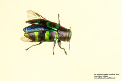 Jewel Beetle or Metallic Wood-boring Beetle (Alfredo Coln, www.alfredocolon.zenfolio.com) Tags: jewelbeetle woodboringbeetle