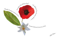 Poema (Alicia Av) Tags: flores illustrator laurel ilustracin azucena poema amapola