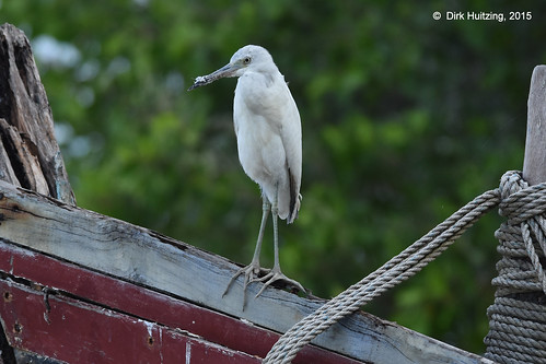 Little Blue Heron 12996gb