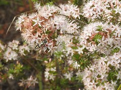 Jewel Beetle (Friends of Aldinga Scrub) Tags: southaustralia jewelbeetle calytrixtetragona bupestridae fringemyrtle aldingascrubconservationpark casterianacarinata