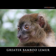 GREATER BAMBOO LEMUR (Matthias Besant) Tags: africa rain animal animals night forest mammal monkey tiere rainforest nocturnal african bamboo jungle lemur afrika monkeys greater mammals wald madagascar mammalia kleiner monkies tier affen primates vertebrate singe affe bambus nachts urwald regenwald primat madagaskar groser vertebrata gnathostomata primaten lemuren saeugetier saeugetiere afrikanisch lemuridae nachtaktiv wirbeltiere bambuslemur feuchtnasenaffe landwirbeltier nachtaktive feuchtnasenaffen hapalemur nachtschwaermer nachtaktiver nachttier wirbeltier halbmaki kiefermaeuler nachtlebewesen lumurides